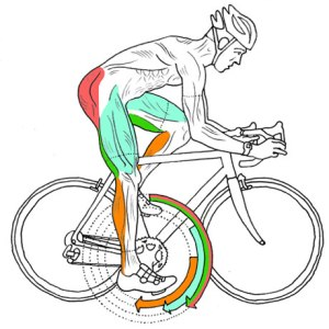 Cycling Technique and Muscles | Tom Astley Physiotherapy ...